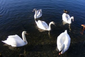 police-launch-probe-after-dead-swan-found-in-andover-lake